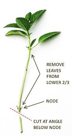 leaf+cuttings+propagation
