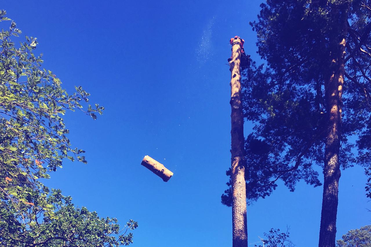 Sektionsfällning - För träd som inte kan fällas i sin fulla längd pga risk för egendom etc. Trädet monteras ner bit för bit. Klättring föredras, i exceptionella fall används kranbil. Kvistning och uppsamling ingår.
