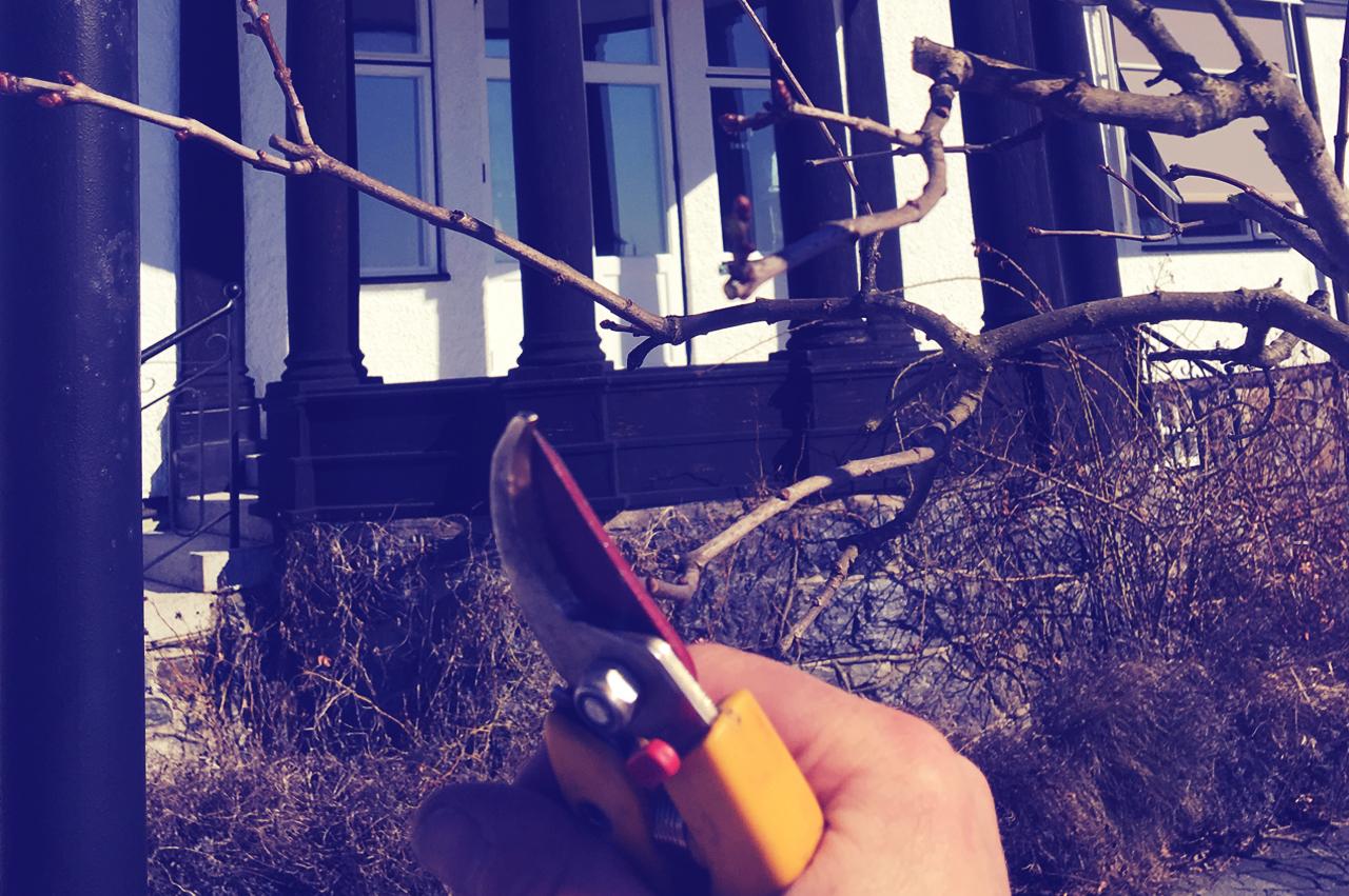 Uppbyggnadsbeskärning - Beskärning för att främja utveckling av en god kronstruktur hos unga träd.