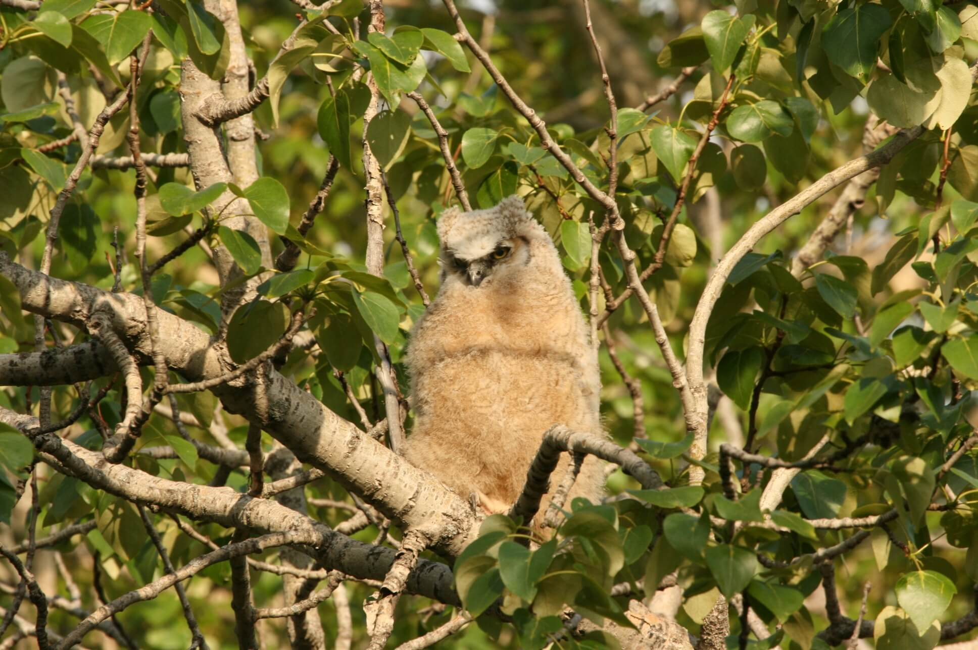 great horned owl juvenile.jpg