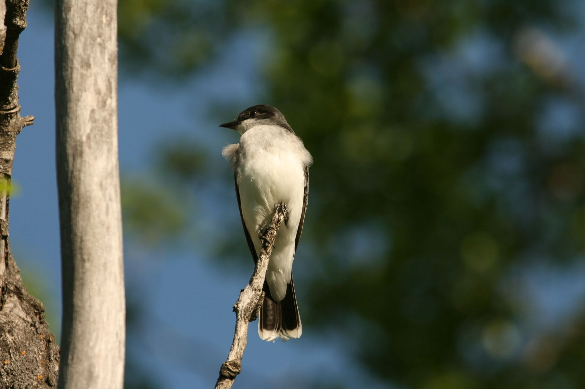 eastern kingbird.jpg