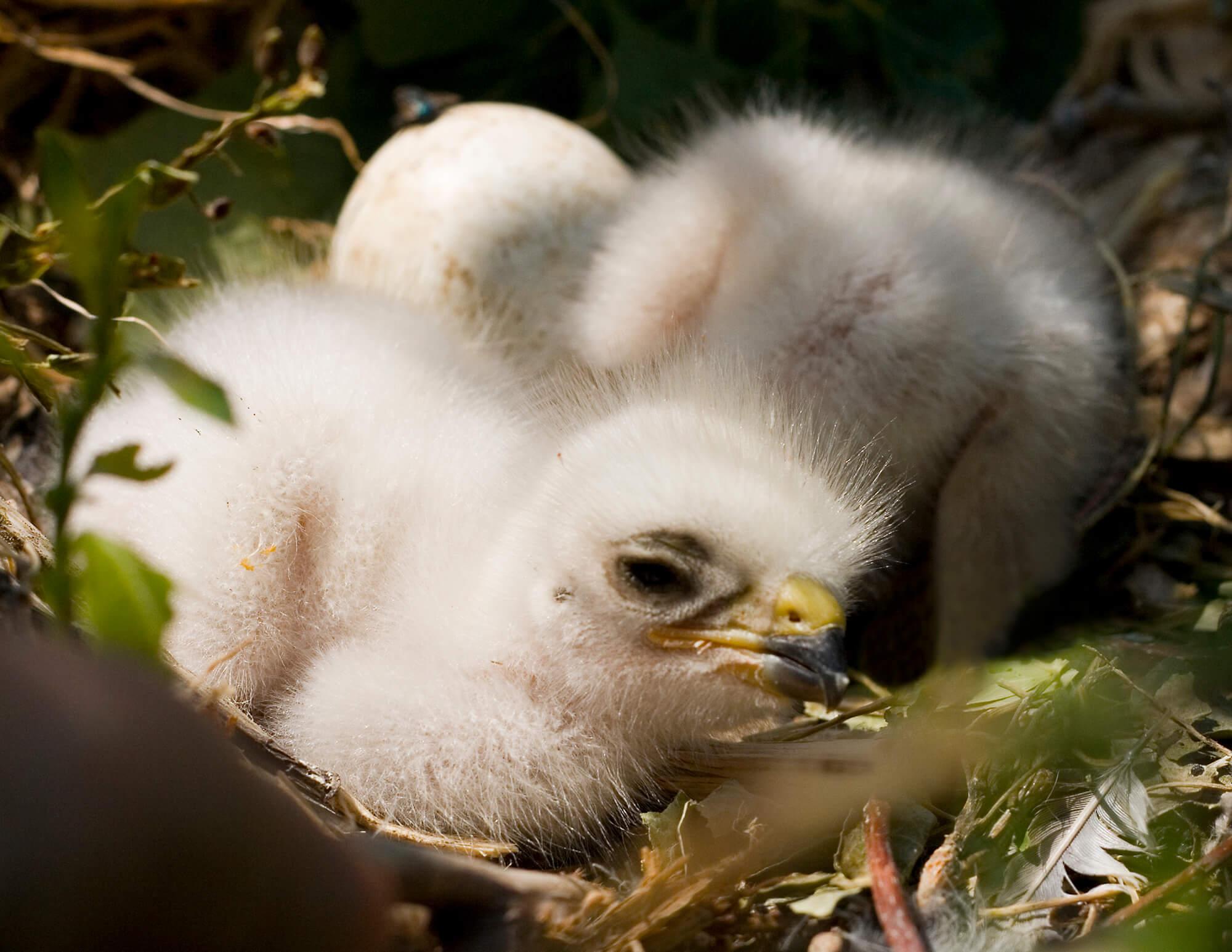 Swainson's Hawk Chicks.jpg