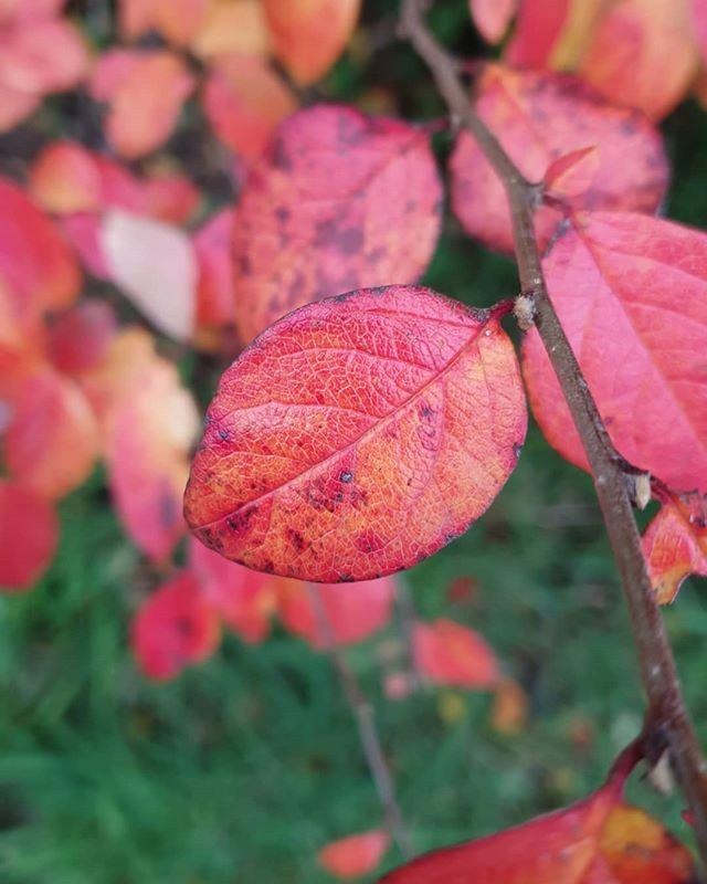 Blod • Blå • Blekk • Blakk • Blikk • Bekk • Blad Blad Blad 🍁🍂 Se mamma, jeg kan norsk. Den norske høsten er ganske grei. Se på de pene fargene!!! 🥰 Men noen ganger er det litt slitsomt at årstidene endrer seg igjen, jeg ønsker meg at det skal være sommer hele tiden! 🌻  Takknemlig for at jeg kan bo her i Norge. Det er tøff men jeg klarer meg 🙃  #norge #årstidene #høst #autumn #fintværdårligklær #innvandrere #livinginnorway #coloursoftheseason