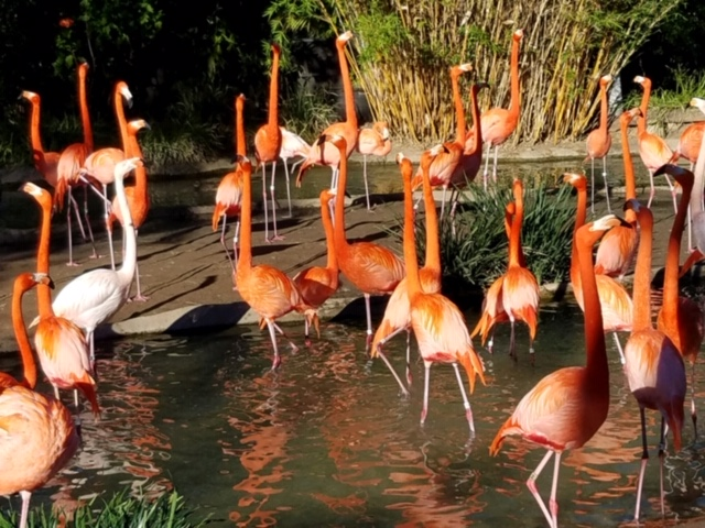 Flamingoes, San Diego Zoo (David Rousmaniere)