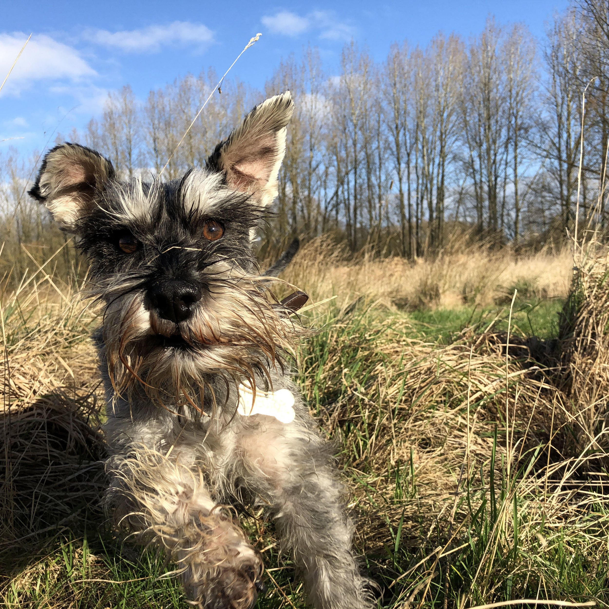 Our Miniature Schnauzer has been walked by We Walk Your Dogs since a puppy. He loves his walks with them, and it's real peace of mind to both myself and my husband knowing he is being so well looked after whilst we're at work.  We Walk Your Dogs are so reliable, flexible when it comes to last minute changes and they so obviously enjoy their jobs- you can tell by the happy faces of the dogs on the pics they post!  I would highly recommend Ness and her lovely team to anyone wanting the best care for their precious furbabies!   Lindsey, Darby Green