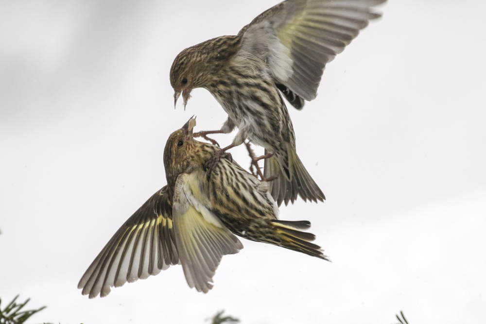 Pine Siskin - Michigan