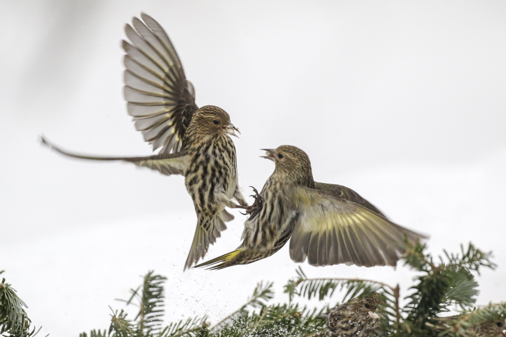 Pine Siskin - February 2018 - Michigan