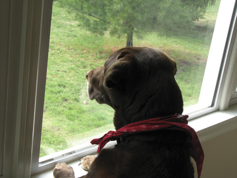 "My Granddog watching feeder birds. Wondering ""how do I get through this force field?"""