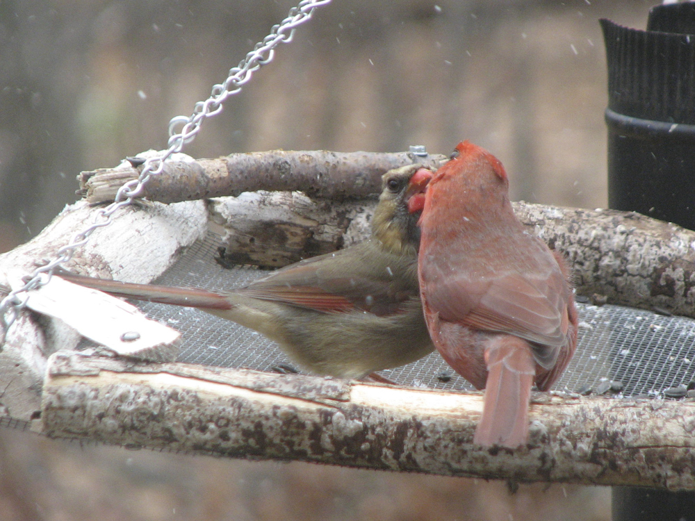 Backyard feeders provide opportunities to study Bird Behavior. Here a male Northern Cardinal feeds a female during Spring courtship.