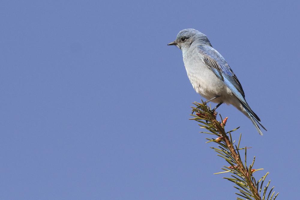 Mountain Bluebird - Colorado