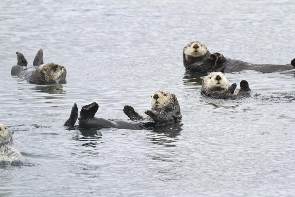 Sea Otters - Alaska
