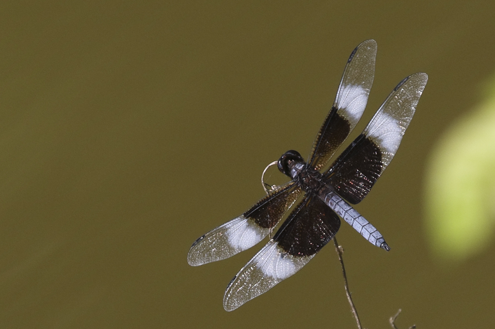 Widow Skimmer - North Carolina