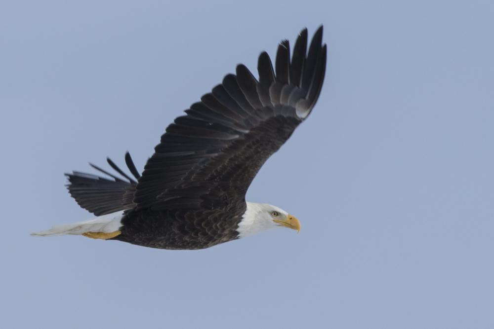 Bald Eagle - Michigan