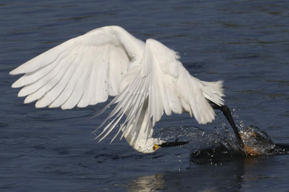 Snowy Egret - Florida. The bird picks up food as it flies.