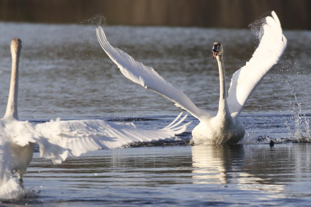Trumpeter Swan during courtship.