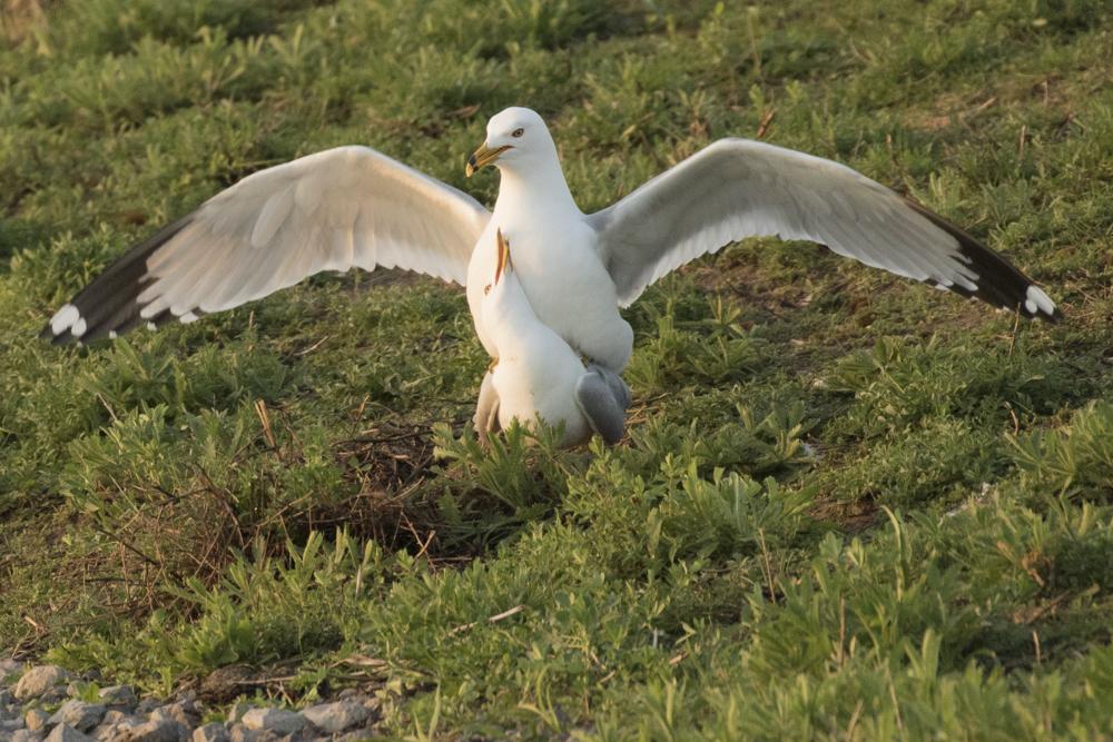 Ring-billed Gulls during courtship.