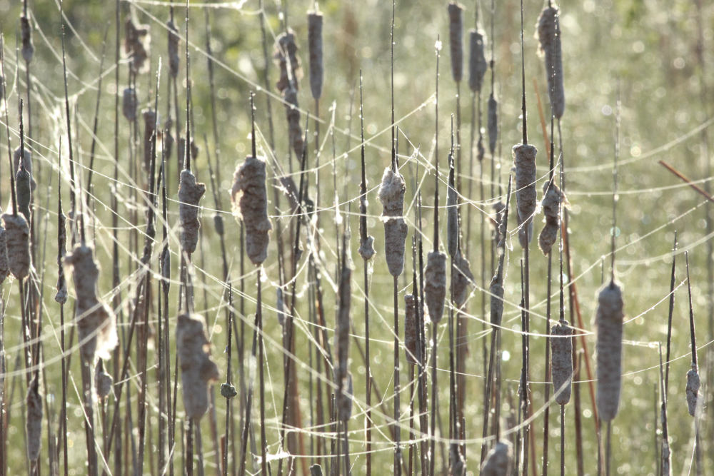 Cattails in morning dew