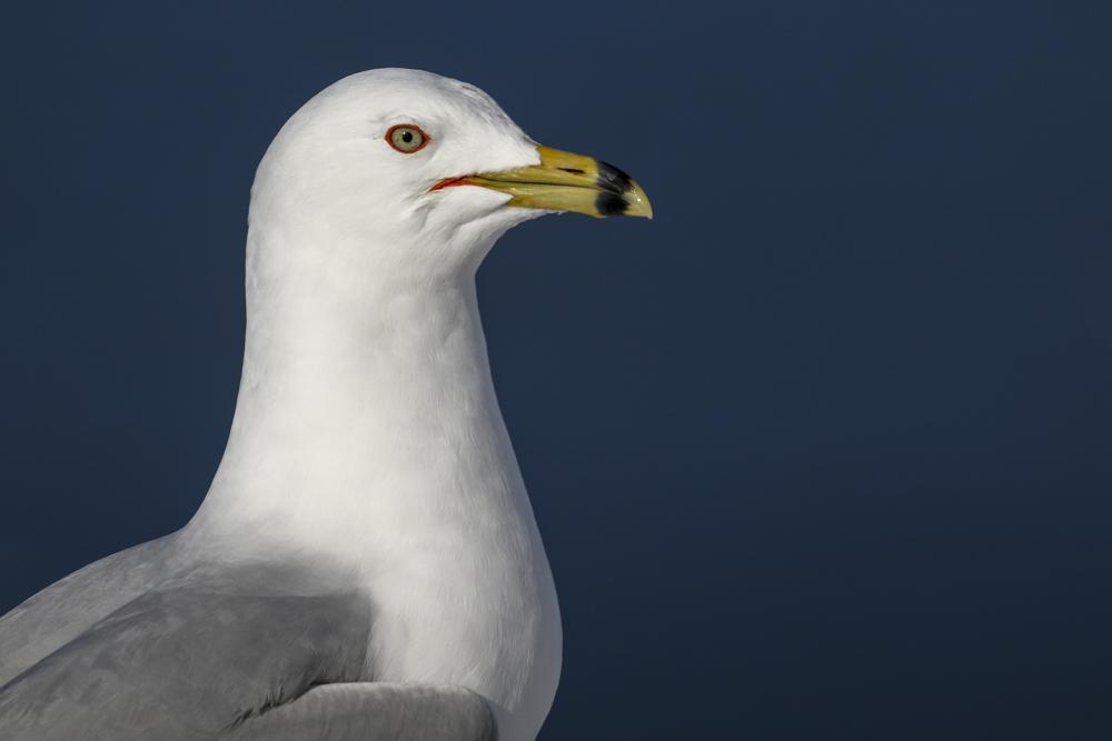 Ring-billed Gull. A Male in crisp breeding plumage.