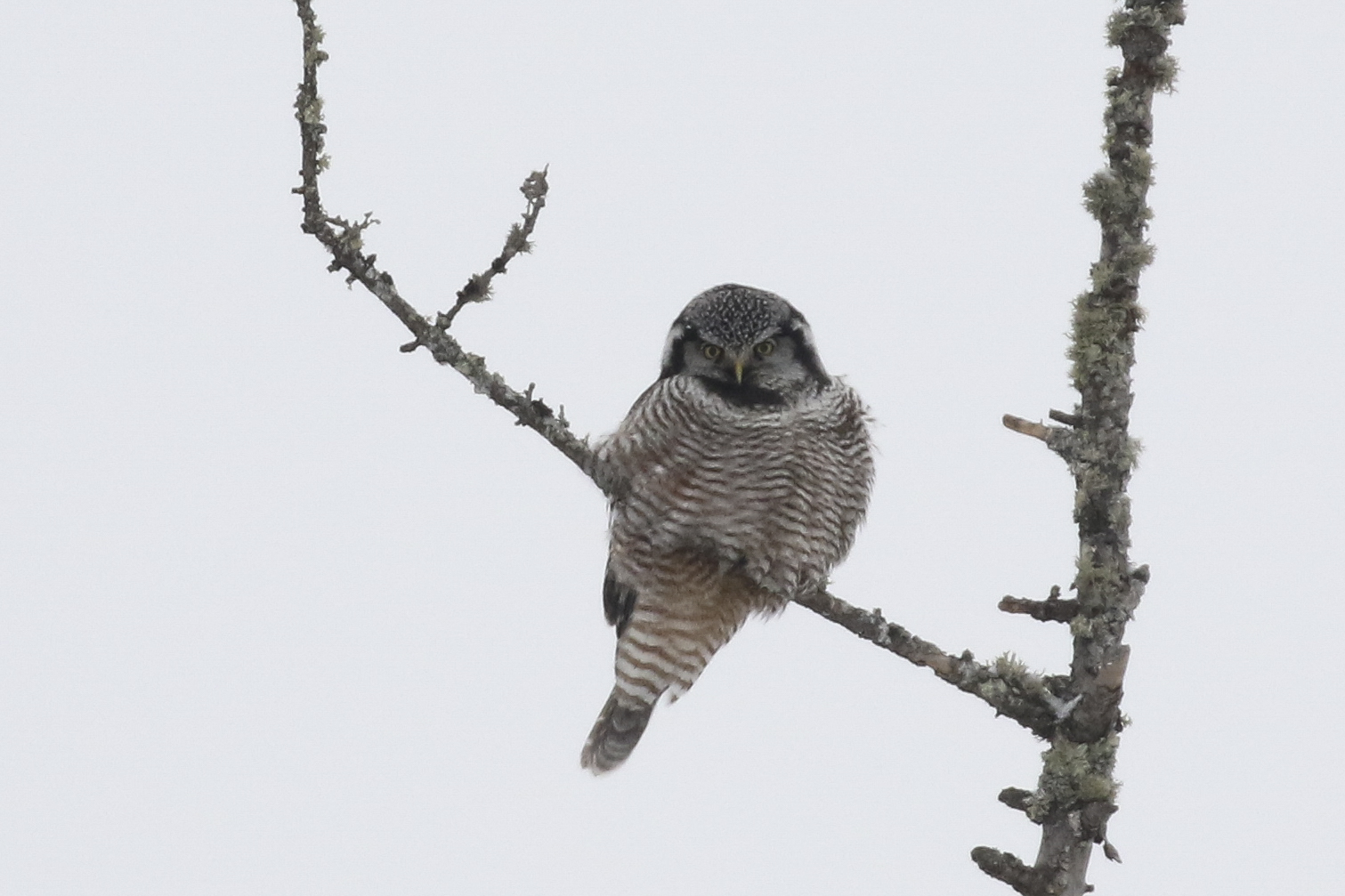 Northern Hawk Owl - Sax-Zim Bog, MN. February 2019