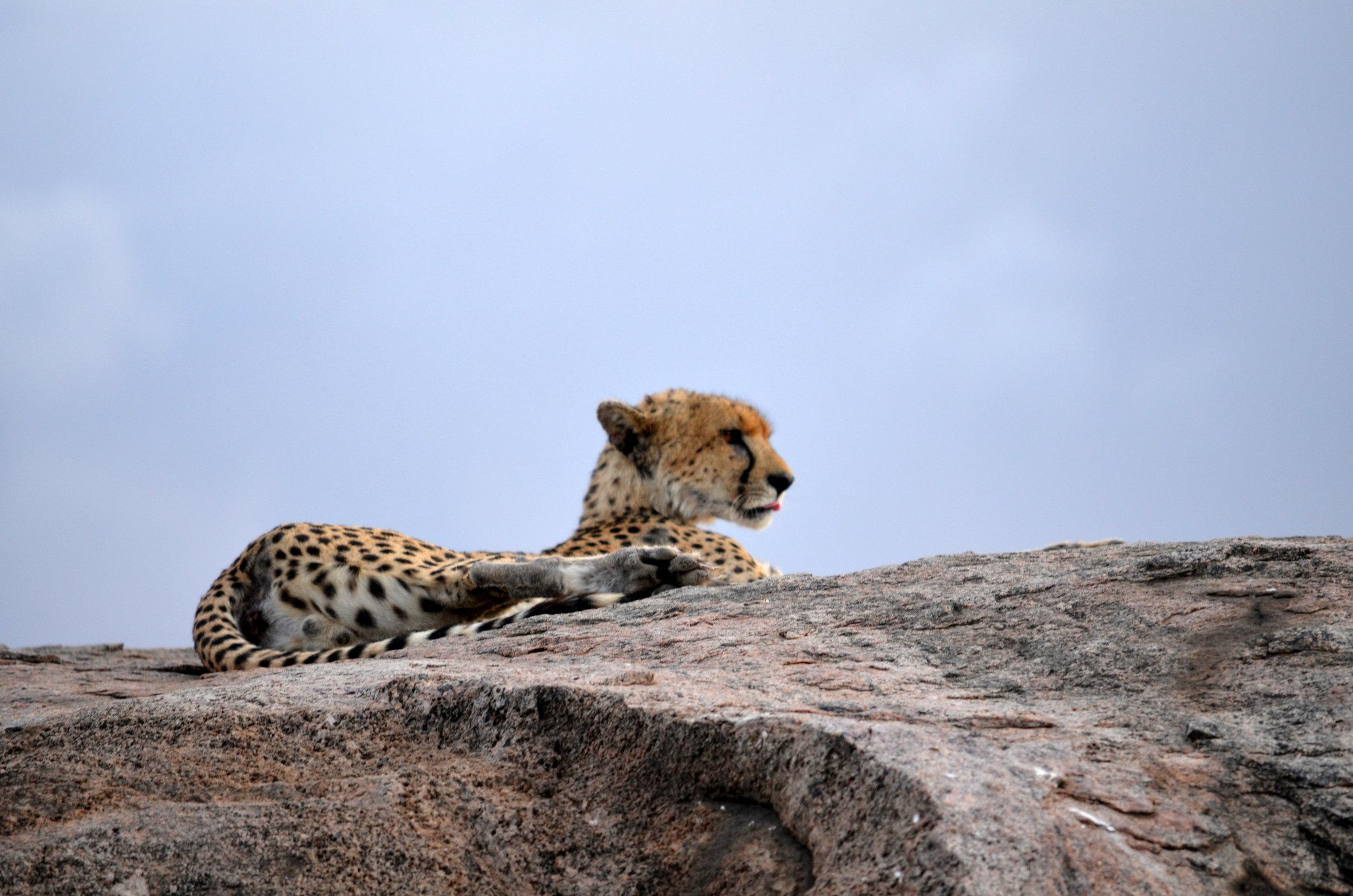 Copy of Cheetah on Serengeti (AF01)
