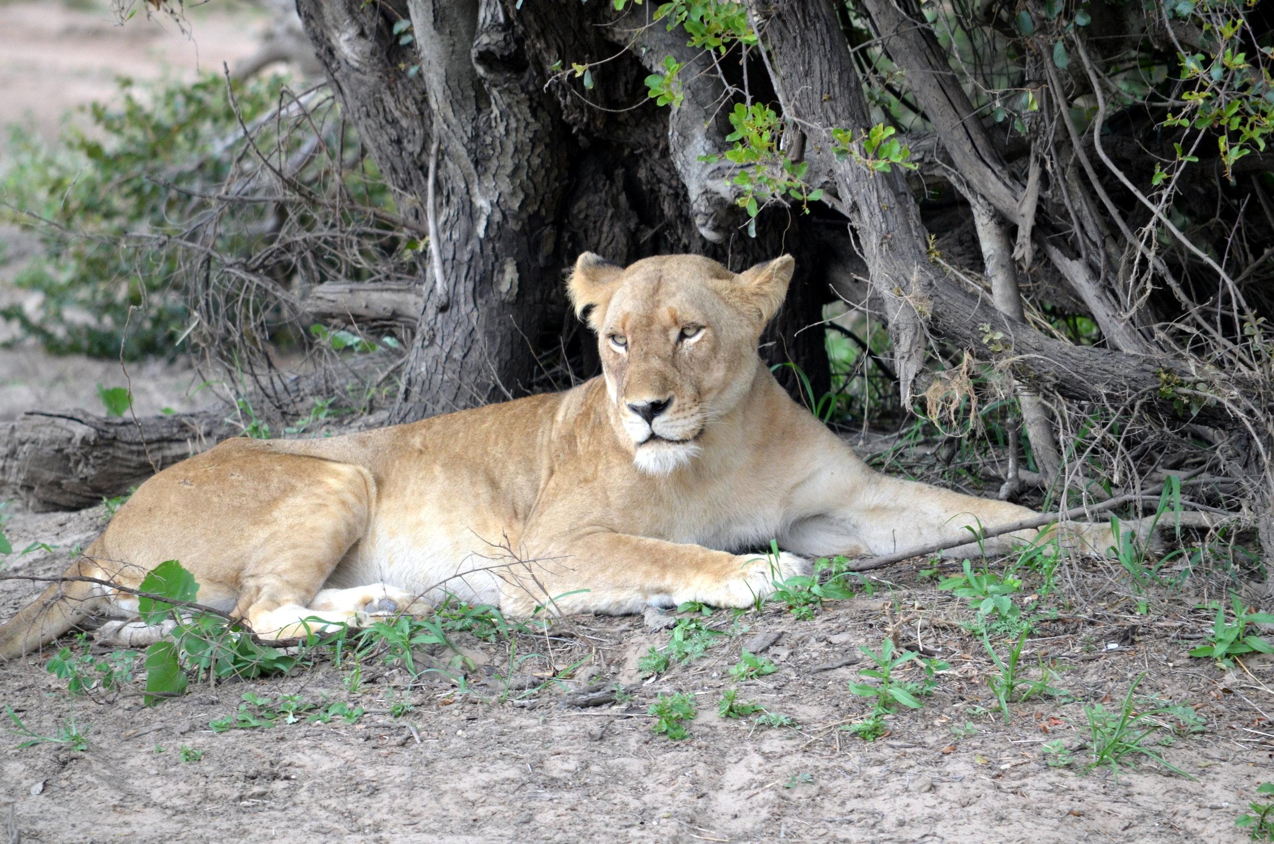 Copy of Lion in South Africa (AF020)