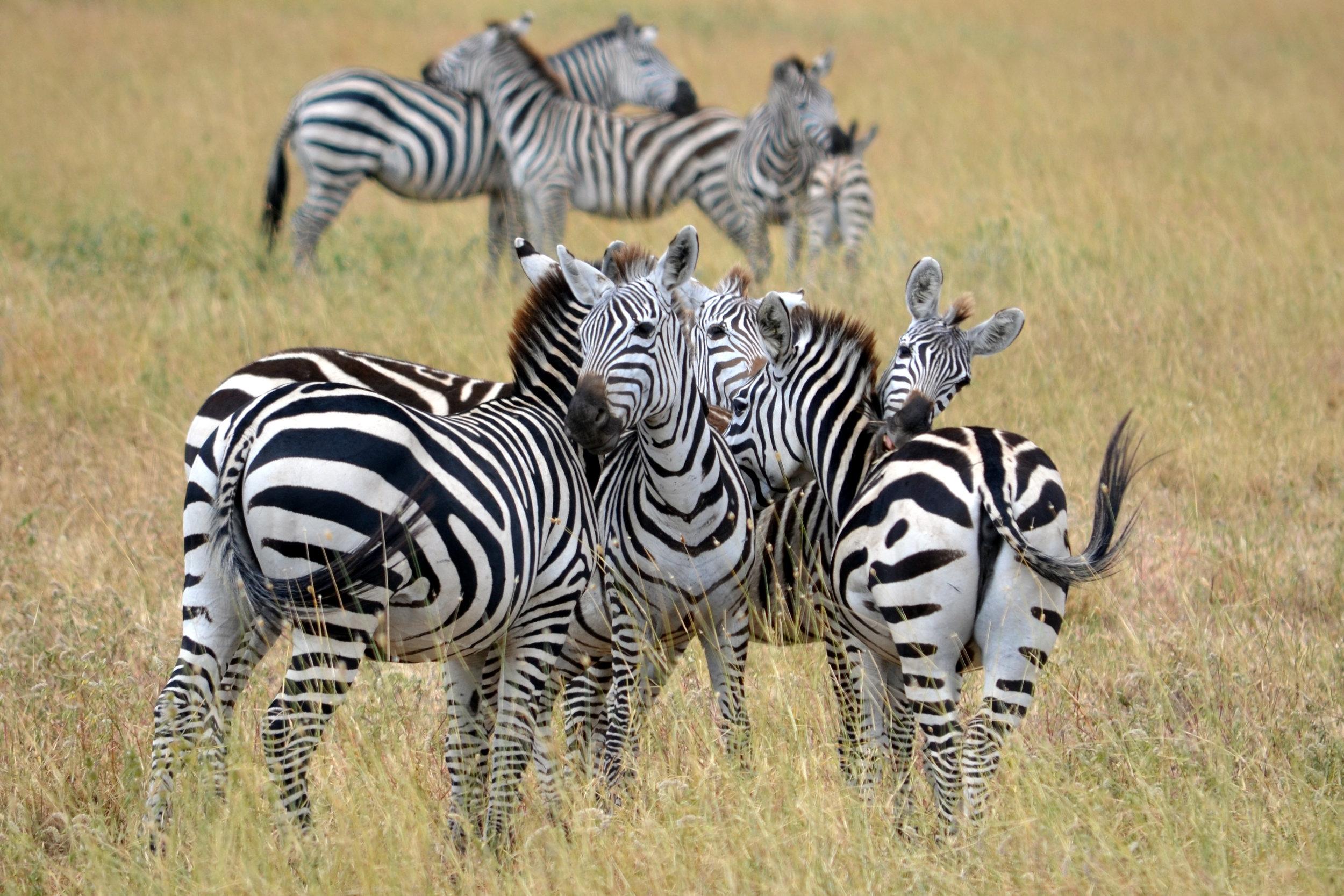 Copy of Zebra tangle on Serengeti (AF021)