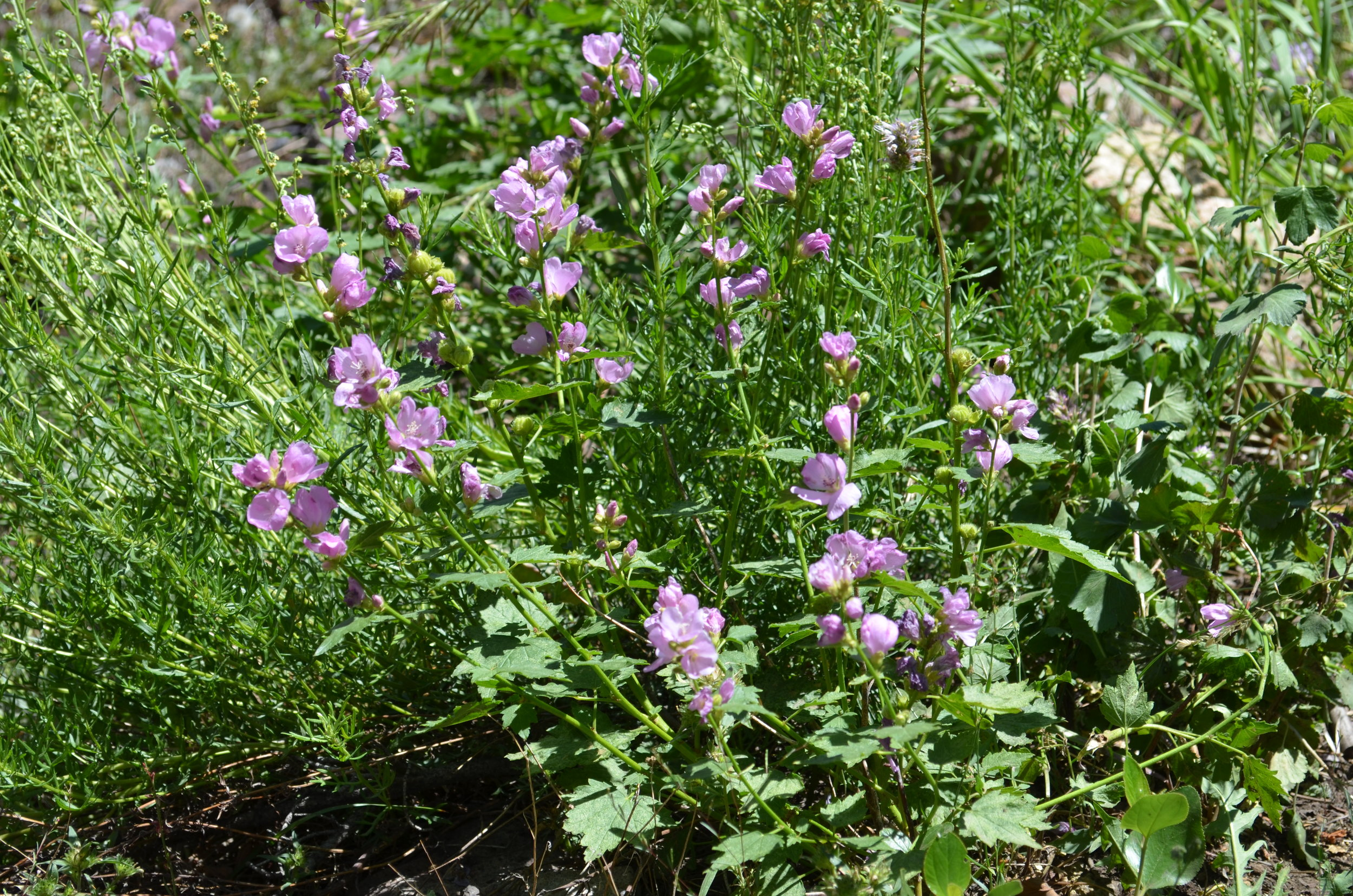 Nevada wildflowers (NV011)