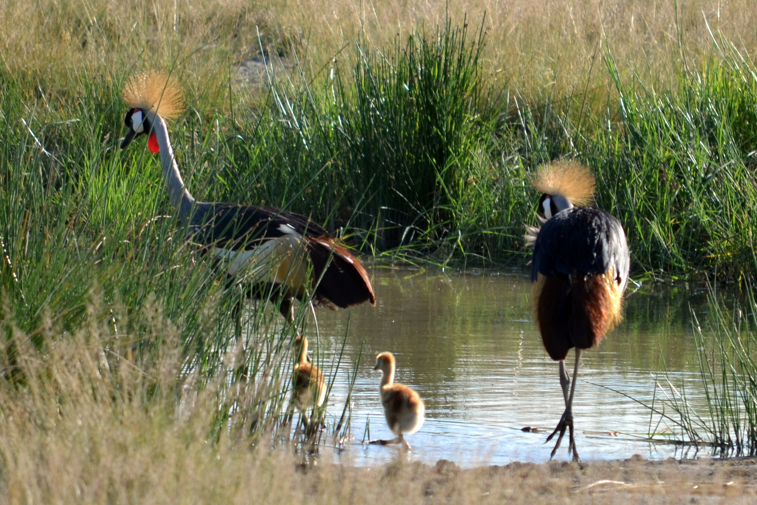 Grey-crowned cranes in Serengeti.JPG