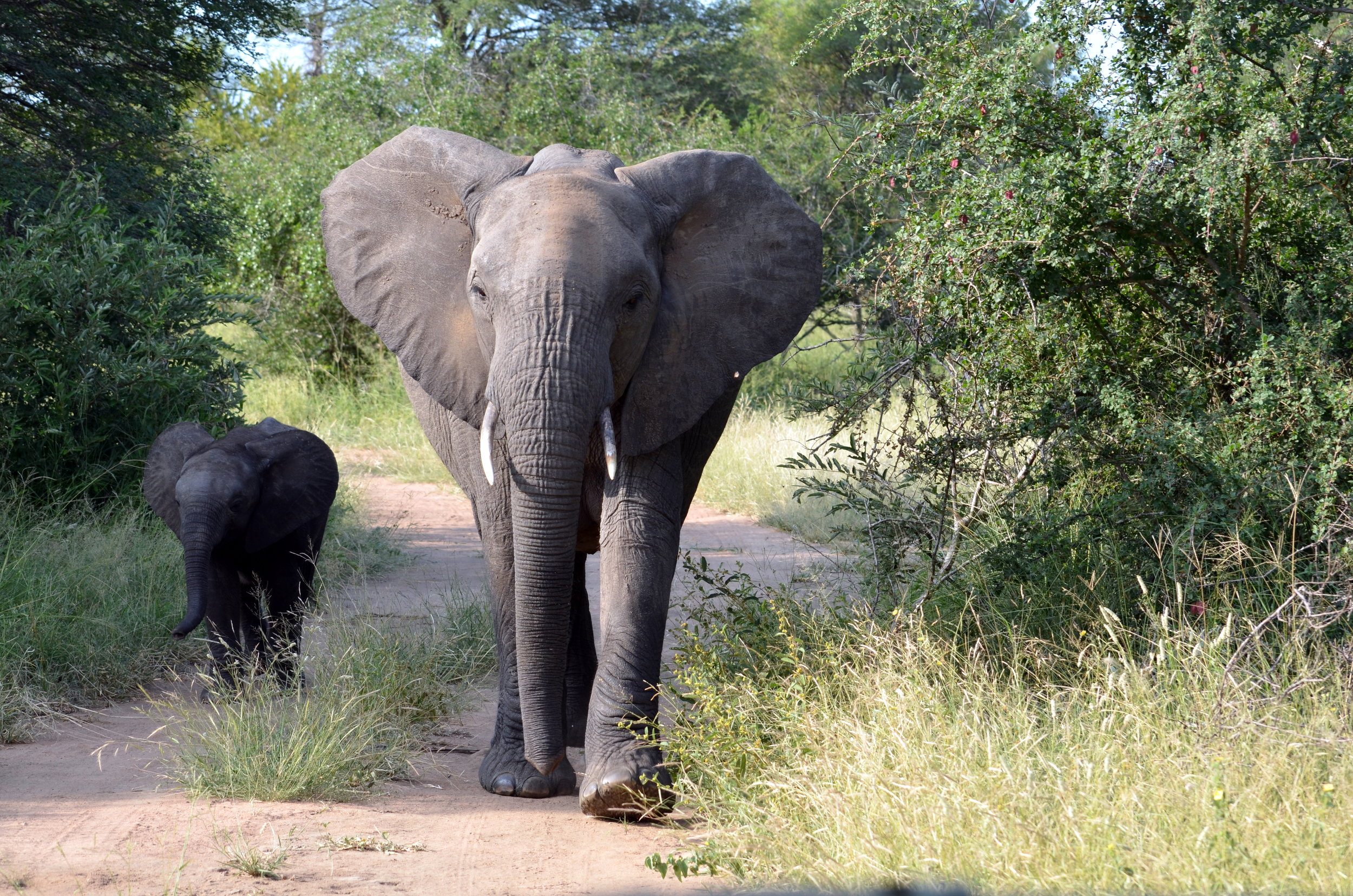 Elephant and calf in Manyara.JPG