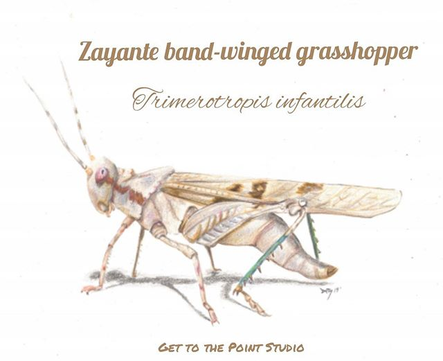 Today's species is the Zayante band-winged grasshopper (Trimerotropis infantilis) Illustrated by: @get_to_the_point_studio 🌻🌻🌻 Be sure to follow along with our endangered species prompt list all of May and tag us in your illustrations to be featured! • • • • #illresearch #illustratedscience #environment #climatechange #history #zine #sciartist #webcomic #scicomm #scienceillustration #marinebiology #sciart #molecularbiology #cellularbiology #wildlifeconservation #naturalhistory #herpetology #herpetologist #amphibians #climatescience #sealevelrise #scientificillustration #entomology