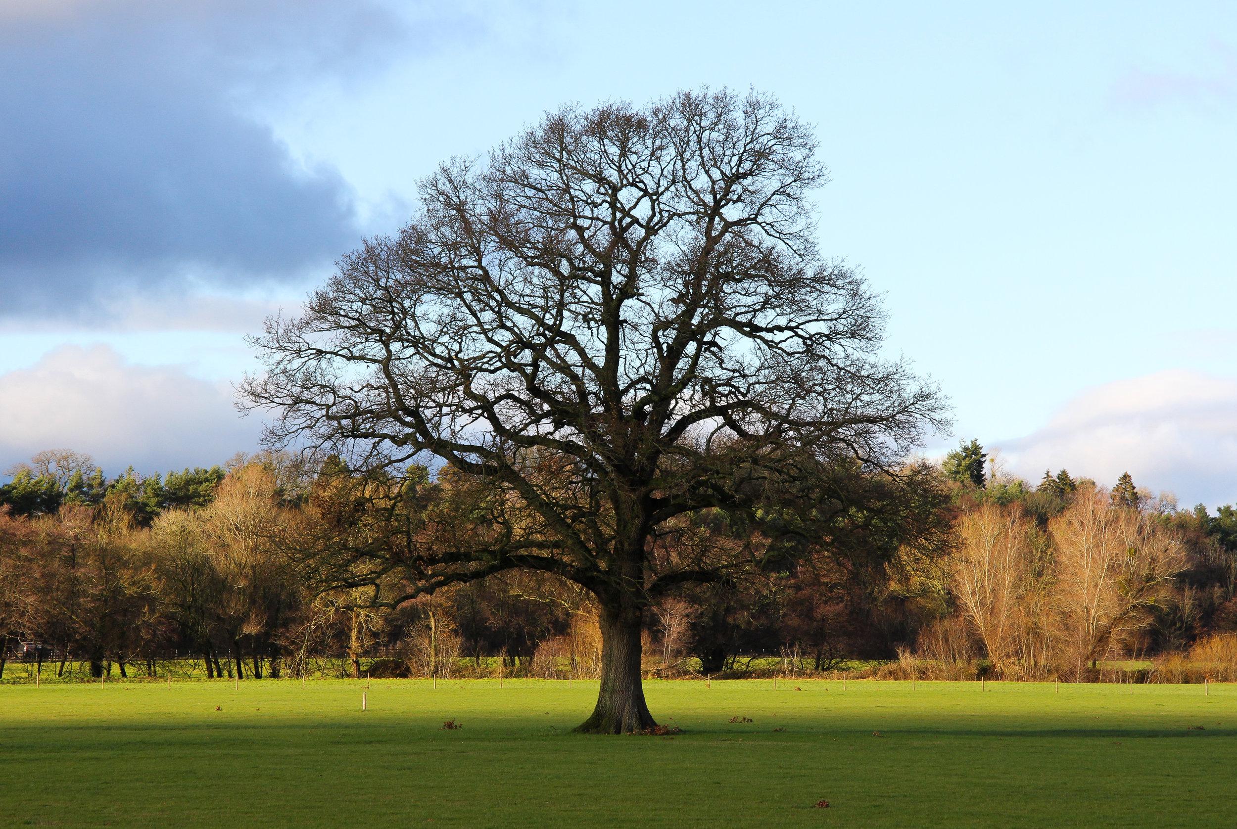 Tree at Usk Showground, Wales.