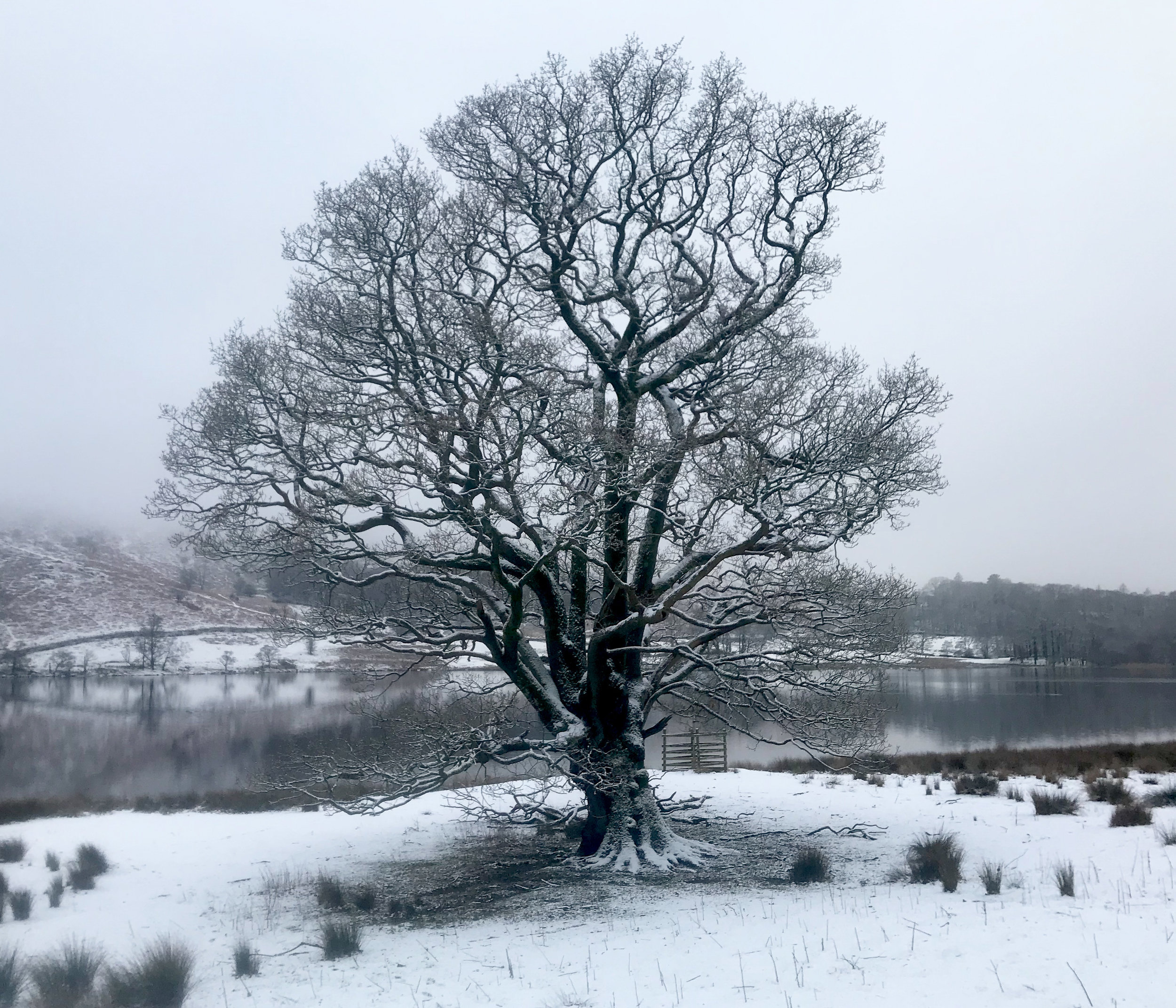 Winter Tree at Rydal Water