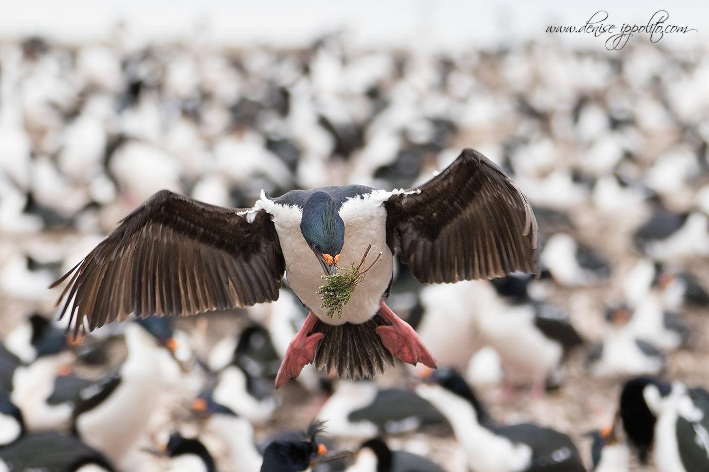 _D2A3791Bleaker-Island,-Falklands.jpg