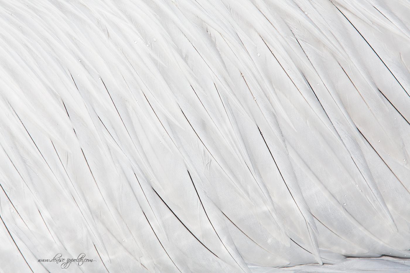 Dalmatian Pelican, Greece , 2016