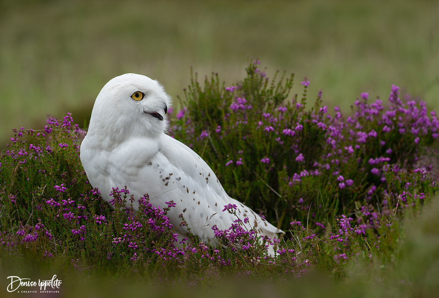Snowy Owl in Heather