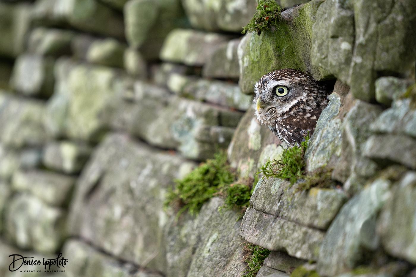"""Little Owl """"Dudley"""""""