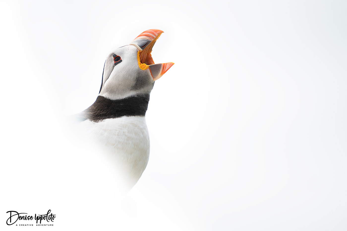 High-key puffin