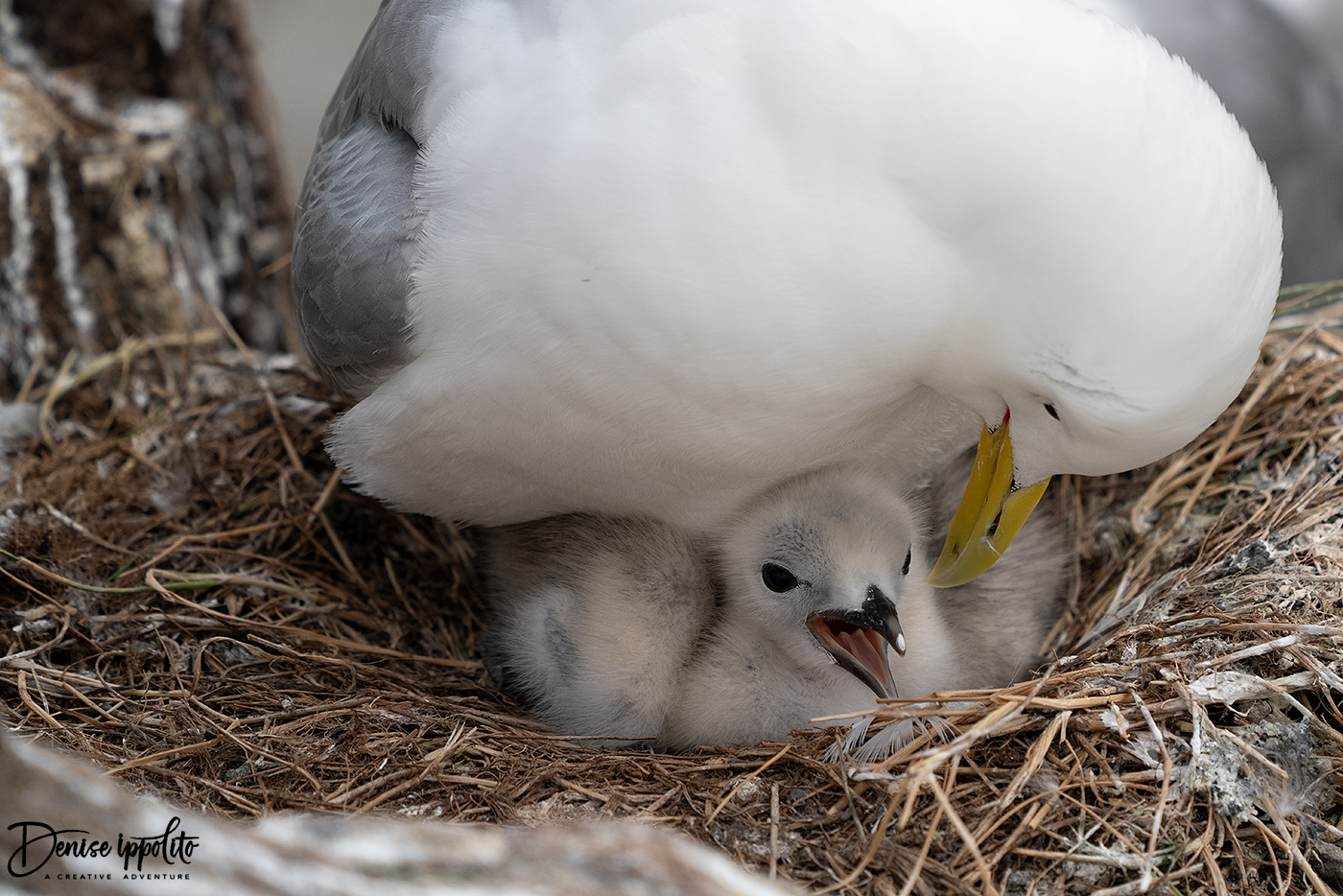 Kittiwake with chick