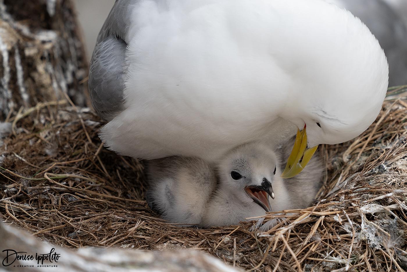 Kittiwake with chick