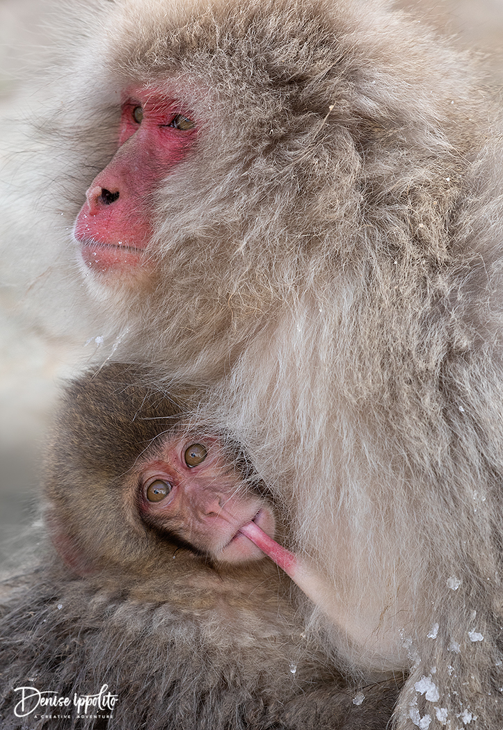 Japanese macaque, aka snow monkey, Japan 2019