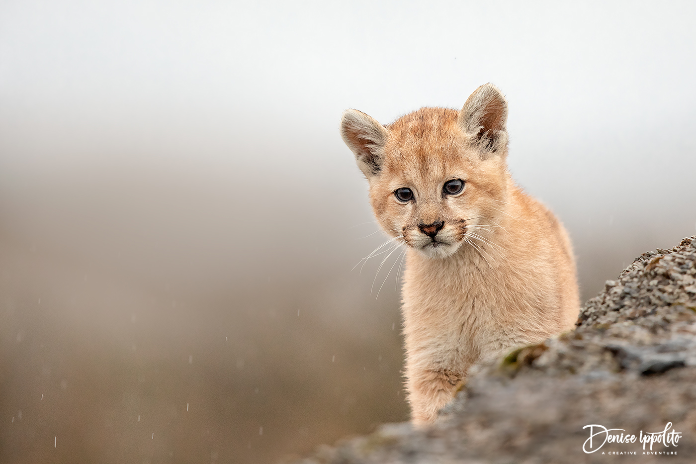 Approximately 7 week old Puma cub, Patagonia 2019