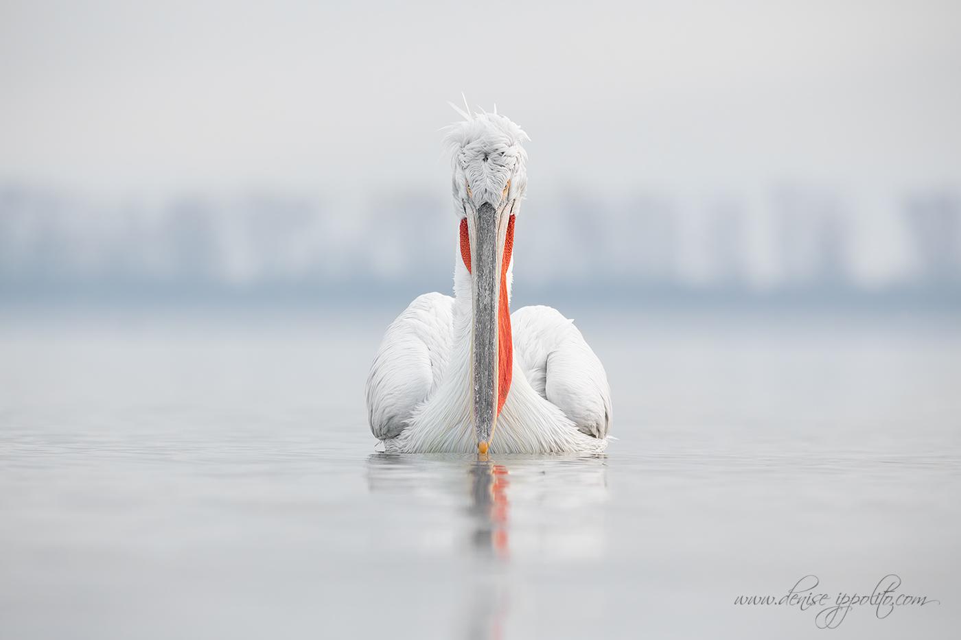 _65C9383Dalmatian-Pelicans,-Greece.jpg