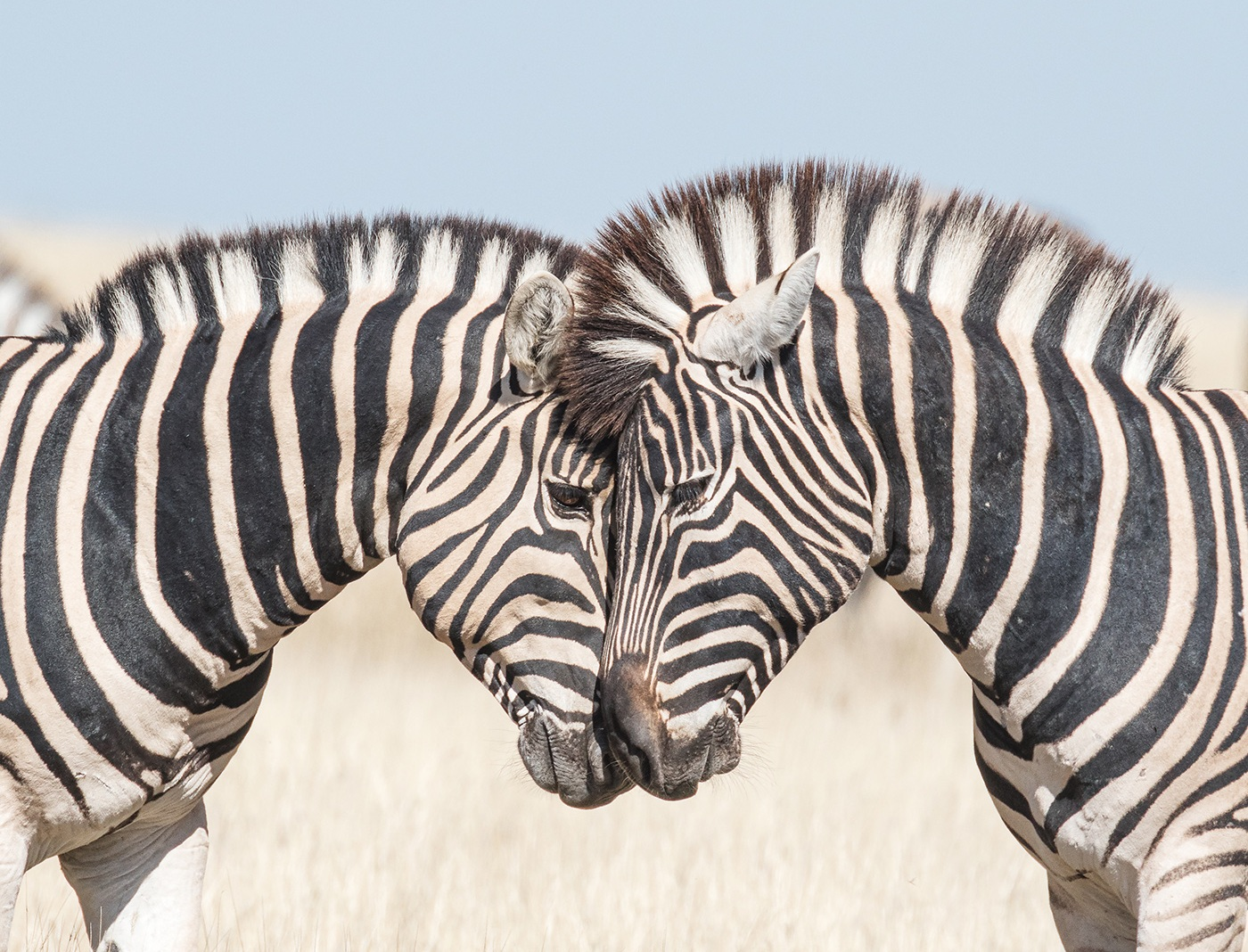 "Image copyright Catherine d'Alessio - ""Burchell's Zebras"""