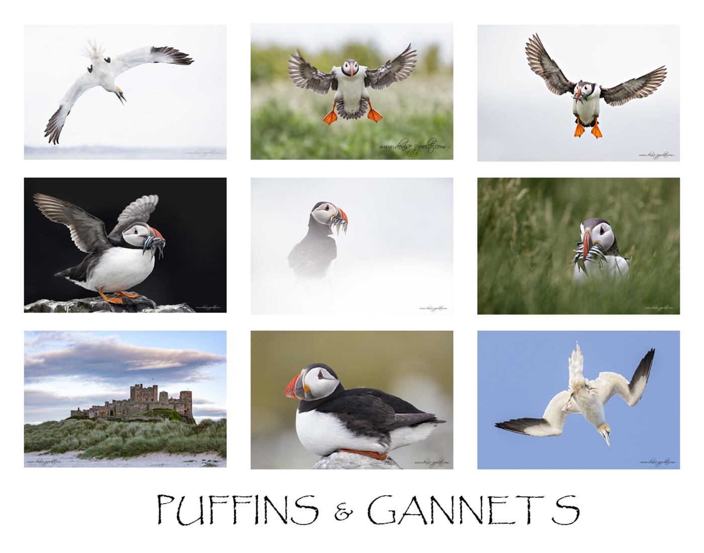 Puffins-&-Gannets-2017.jpg
