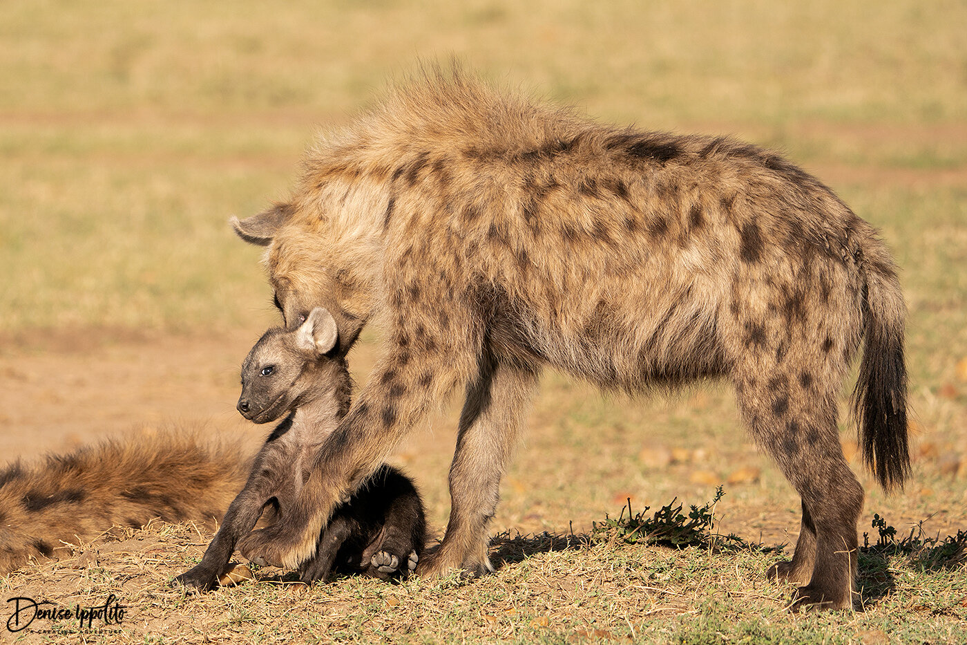 Hyena picking up its very young son.