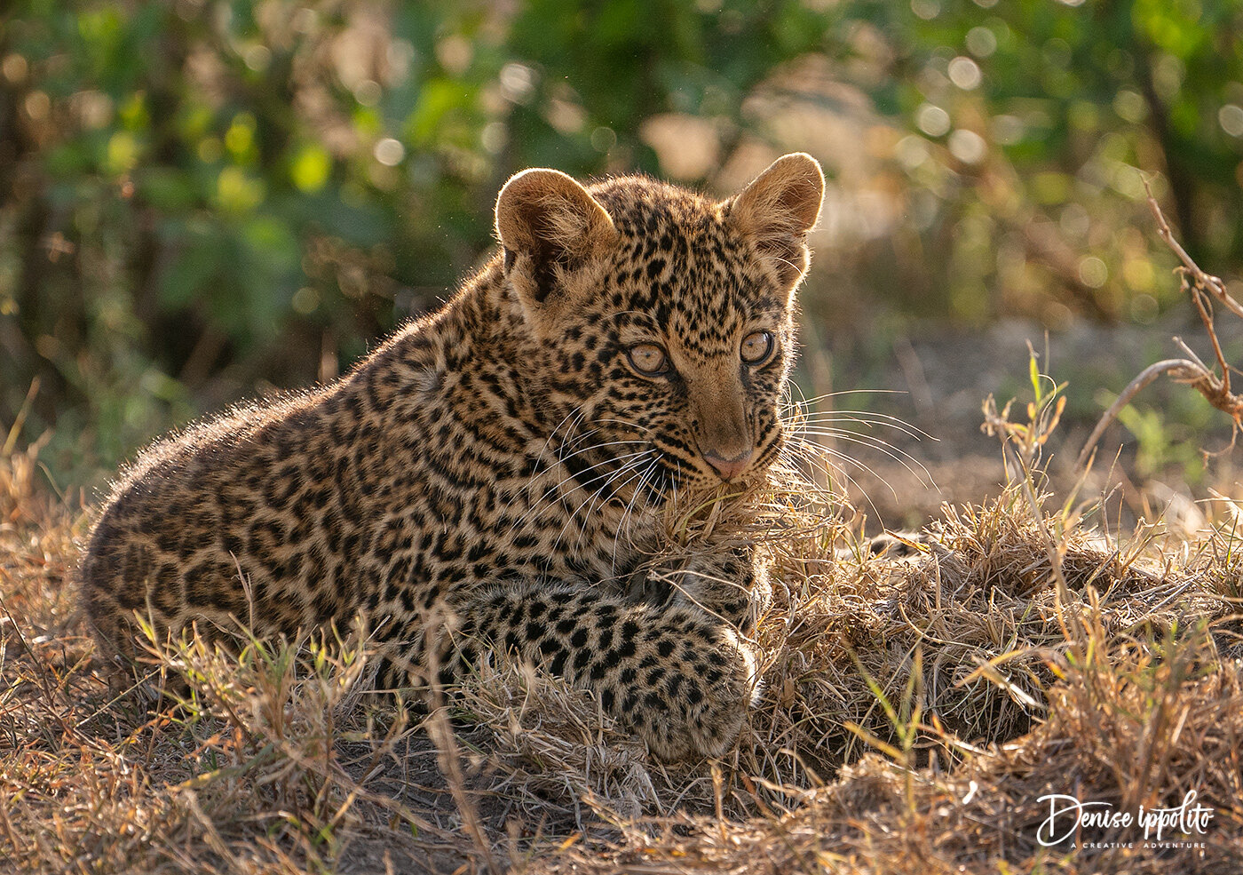 A male Leopard cub playing with some moss. I liked the backlighting for this one. The cub was brave and so adorable to watch. Since he had no siblings to play with he made use of every single thing he could get his paws on.