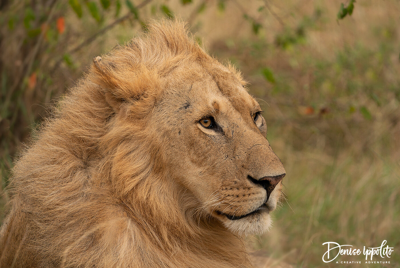 I used a slow shutter speed to blur the blowing grasses in the background and prayed the Lion would not move.