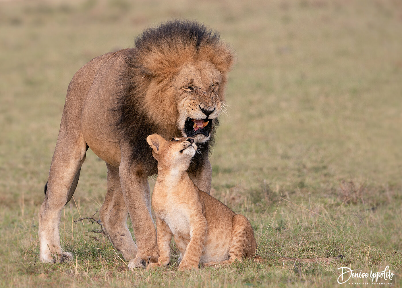 The mighty male was very tender with this rambunctious cub. Though his patience grew weak at times.