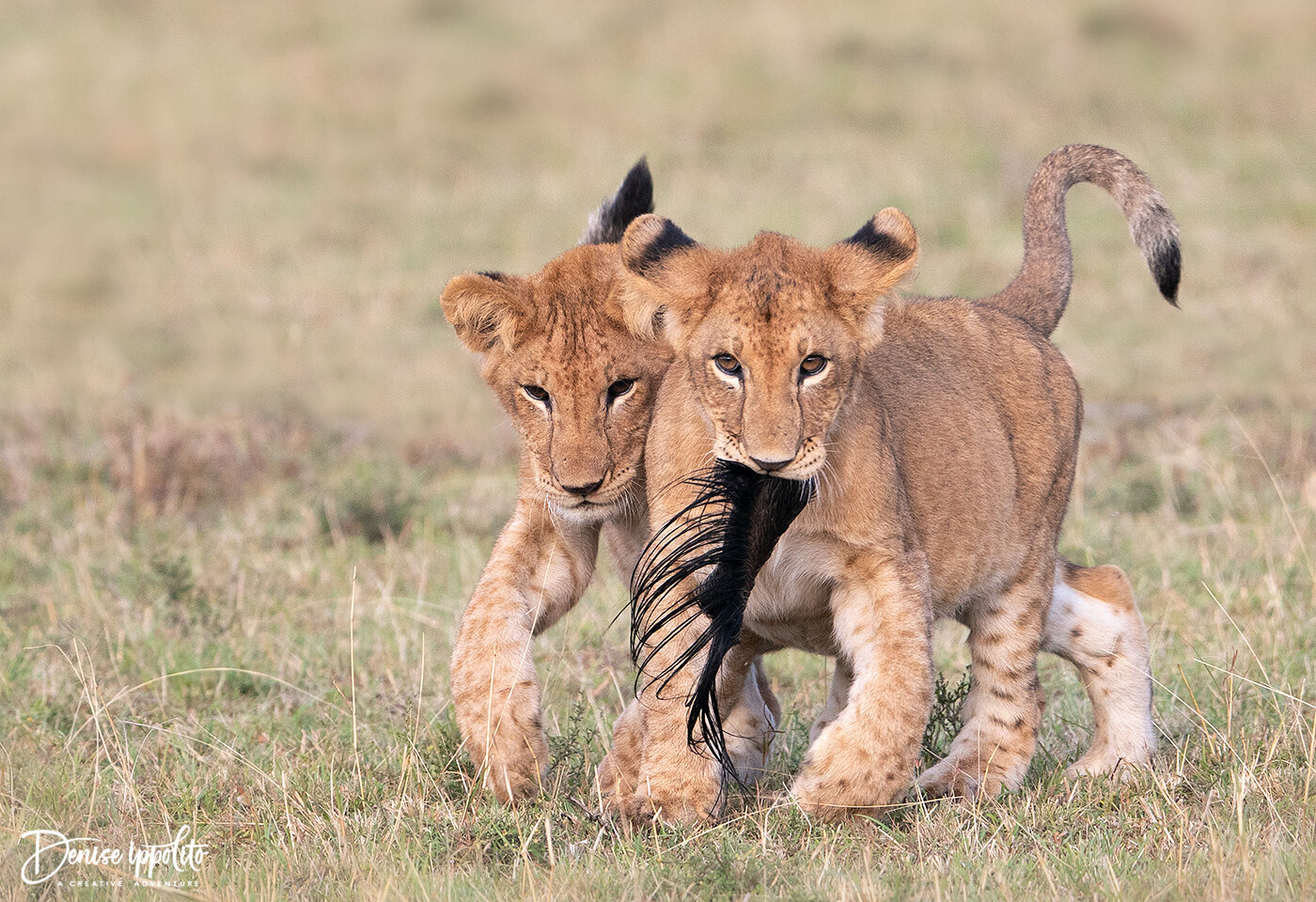 A zebra part was fun for this cub to play with. He enjoyed parading around with it and having his siblings chase him.
