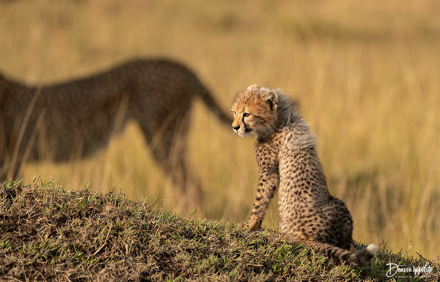 We had the opportunity to photograph 6 Cheetah cubs just outside of the reserve. I loved the way the tail of the adult seems to be touching the cub.